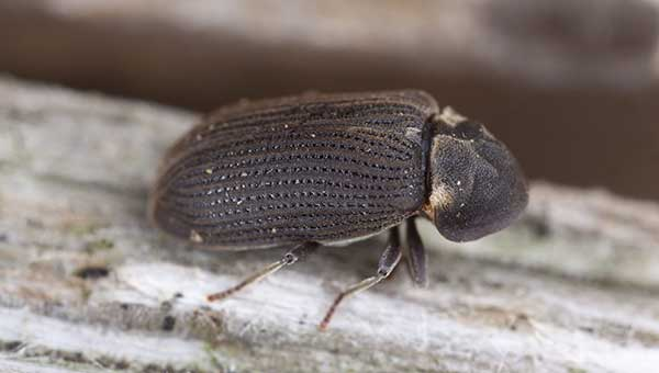 Houtworm houtaantasting ongedierte rido ongediertebestrijding