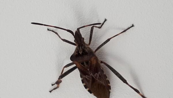 Bladpootrandwants vliegende insecten ongedierte